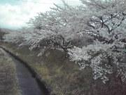 疏水公園入口桜